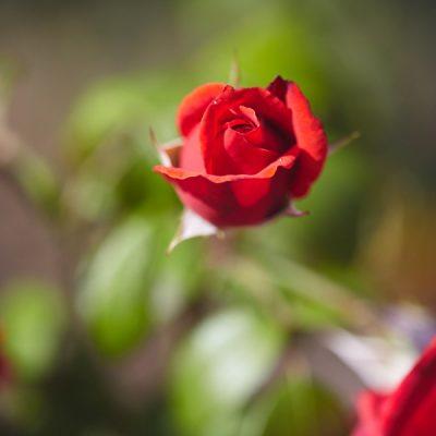Wunderland Wald I – Rose
